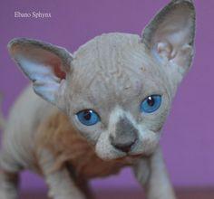 kitty sphynx cat gato esfinge