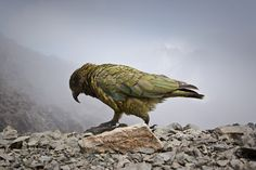 I think the most beautiful bird I have ever seen. The Kea, New Zealand. Bird People, Most Beautiful Birds, New Zealand, Animals, Parrot, Nerd, Wings, Hilarious, Earth
