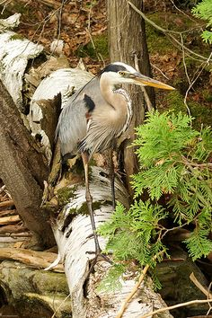 A Great Blue Heron swooped in and took refuge in the woods at the edge of the lake.  I was able to sneak up close enough (in the paddle boat) to take a few pictures.   Little Hawk Lake, Haliburton Highlands, Ontario Canada.