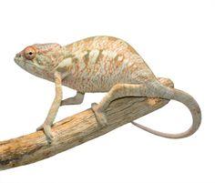 Juvenile Nosy Be Panther Chameleon produced here at Canvas Chameleons