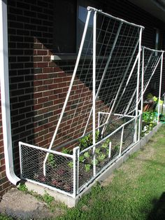 bean poles (once full) become shade for lettuce.