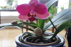 Sokkal jobban fognak virágozni az orchideáid, ha ezt a trükköt kipróbálod! Indoor Plants, Window Treatments, Orchids, Life Is Good, Windows, Flowers, Outdoor, Design, Gardening