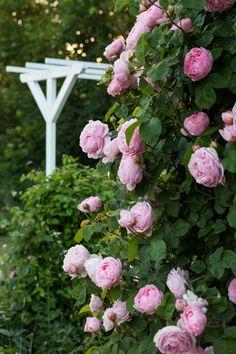 an angel at my table: Rosor i överflöd