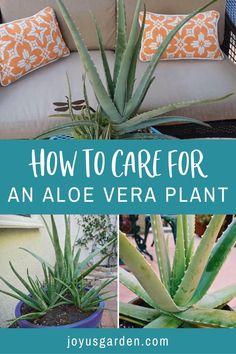 Aloe Vera Plant Indoor, Aloe Plant Care, Best Indoor Plants, Outdoor Plants, Planting Aloe Vera, Plants For Garden, Using Aloe Vera Plant, Potted Plants, Indoor House Plants
