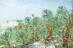 succulent on the beach. Soft beach background of sunny day on the beach. - Nature