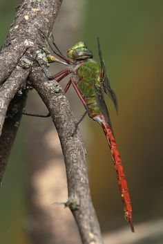 Comet Darner - a large dragonfly which has a green thorax & bright red abdomen. Females have a brownish abdomen patterned with blue spots. They are found in shallow lakes & ponds in the eastern USA | by PhotonFreak ~