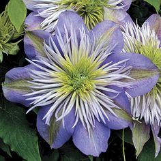 ~Crystal Fountain Clematis (Clematis Crystal Fountain) at Wayside Gardens