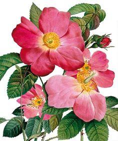 Single Provins Rose - Natural History Museum greeting card