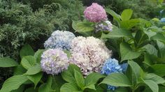 multi colors of hydrangeas
