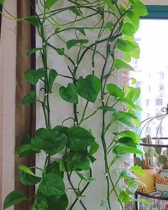 Indoor Garden, Indoor Plants, Outdoor Gardens, Home And Garden, Wall Climbing Plants, Hanging Plants, Plant Wall, Plant Decor, Inside Plants