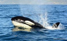 Not so long ago we were privileged to have a pod Killer Whales seen from boats in Simonstown and from the road, as they were chasing dolphins for lunch. .    14 Holiday Things To Do With Kids In Cape Town