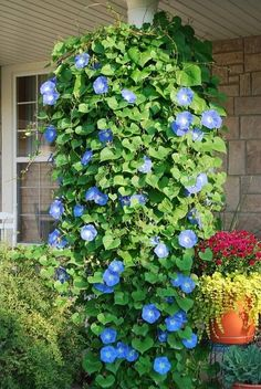 Morning glories beautifully create the fastest privacy living fence on your property, but if you're not meticulous about this plant - it can take over your ENTIRE yard!