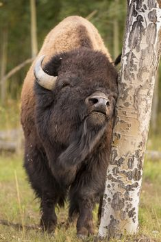 I love Bison. Bison Scratching an Itch, Grand Teton National Park, Wyoming Nature Animals, Animals And Pets, Cute Animals, Wild Animals, Animal Bufalo, Wildlife Photography, Animal Photography, Beautiful Creatures, Animals Beautiful