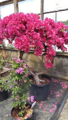 I Found A Gorgeous Bougainvillea At Nearby Nursery M Thinking Of Going
