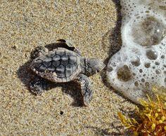 Baby Sea Turtles | Baby Loggerhead sea turtle | Animal Photography