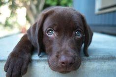 Chocolate lab puppy ❤