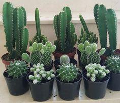 Mini Cactus Garden, Succulent Gardening, Cactus Flower, Cacti And Succulents, Planting Succulents, Garden Plants, Indoor Plants, Planting Flowers, Mini Cactus Plants