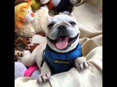 cute dog smile ^^ - french bulldog puppies - Dogs Channel