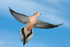 Mourning Dove in flight.  http://www.ontfin.com/Word/tag/equipment/