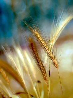 Golden fields of wheat . Simply Beautiful, Beautiful World, Cactus E Suculentas, Fields Of Gold, Bokeh Photography, Wheat Fields, Foto Art, Natural World, Belle Photo