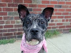SAFE 10/19/14!  Was TO BE DESTROYED - 10/19/14 Brooklyn Center -P  My name is NATALIE. My Animal ID # is A1015784. I am a female blue merle catahoula mix. The shelter thinks I am about 2 YEARS old. For more information on adopting from the NYC AC&C, or to  find a rescue to assist, please read the following: http://urgentpetsondeathrow.org/must-read/