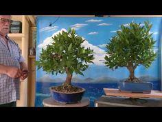 Actualización de los laureles plantas de vivero - YouTube