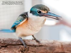Sacred Kingfisher photographed in Sydney by photographicpassions, $24.00