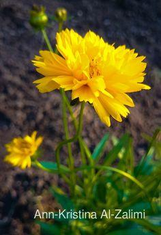 Ann-Kristina Al-Zalimi, Coreopsis grandiflora, coreopsis, storflicköga, flicköga, isokaunosilmä, kaunosilmä, puutarha, flora, garden