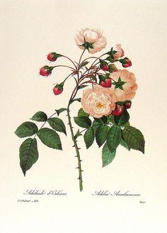 Rose Adélaide d'Orleans by Pierre-Joseph Redouté.