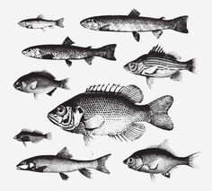 FISH FREE VINTAGE VECTOR PRINTABLE   http://www.freevintagevectors.com/2015/07/fish.html