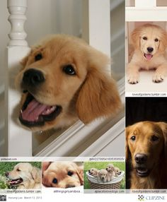 Golden Retriever ... Golden Retriever are really sweet dogs