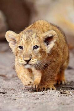 Cute lion cub practices stalking