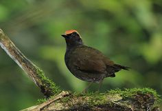 Rufous-capped Antthrush Formicarius colma - Google Search