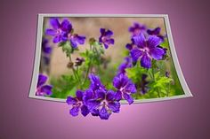 Storchschnabel, Flor, Roxo, Flora