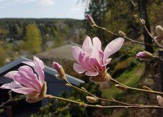 Tett på Magnoliaen og gjør et kupp på hagesenteret nå! Magnolia, Plants, Magnolias, Plant, Planting, Planets