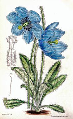 Blue Himalayan Poppy | Meconopsis simplicifolia (1911)