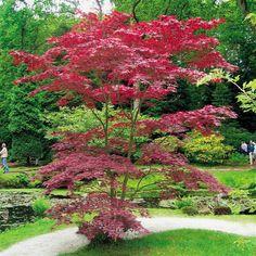 Acer palmatum Atropurpureum, 1 tree - Gardens4You