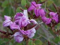Anacacho Orchid Tree pink  at Glendale Xeriscape Garden (Glendale AZ)