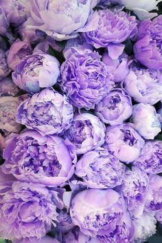 purple peonies Beautiful flowers by P.M.Y.