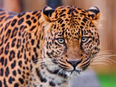 animals close-up leopards wild eyes wildlife (to get full size image visit the site)