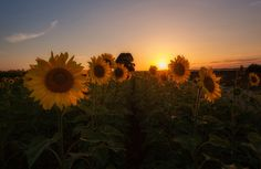 Girasoles al Atardecer... (Explored 06/10/2016) - protsalke - Sunflowers at Sunset... -  http://ift.tt/2dYNIo8 IFtemppicpinned in Building blocksdownld in ios #October 8 2016 at 10:36AM#via IF