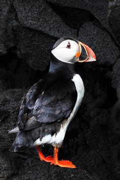 During summer the puffins come to Iceland. Actually most of the worlds population of puffins come to Iceland, so you will have a great chance to see one up close. You can see them at several locations with big bird cliffs, eg. at Kirkjufjara beach, Dyrhólaey, Iceland. Photo © EdgyCuts.