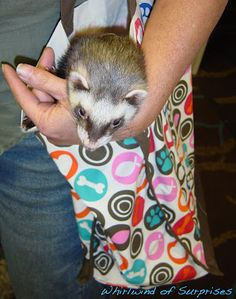 Manny Ferret on the prowl while Marcuz sleeps #BlogPaws #BlogPawsQuotes