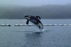 Keiko breaching in Iceland, free at last Photo by Dr. Ingrid Visser