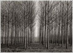 Google Image Result for http://www.thescreamonline.com/photo/photo3-2/kernan/images/straight_trees_italy.jpg