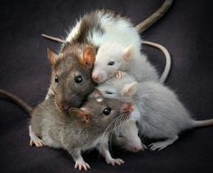 Mama rattie and babies <3