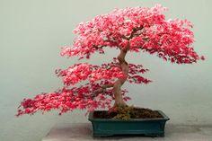 8 técnicas de moda en la jardinería: Los bonsáis