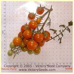 Katinka Cherry Tomato - Heirloom, Open-Pollinated, non-Hybrid Victory Seeds®