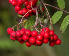 081514 rowan ~  Rowan Berries Mountain Ash Tree, Art Series, Fruit Garden, Rowan, Gardening Tips, Amazing Photography, Still Life, Autumn Ideas, Watercolours