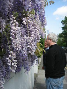 Wysteria at the Chelsea Physic Garden, London. Visit chelseaphysicgarden.co.uk